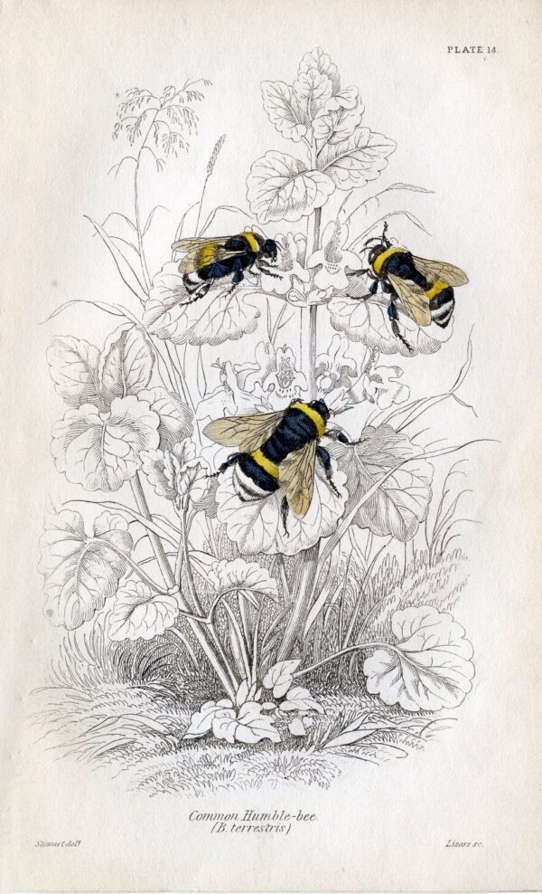 A vintage black and white image with color honey bees