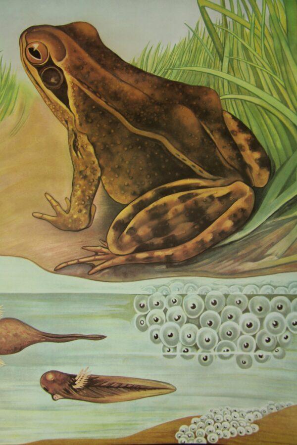 public domain frog illustration 15