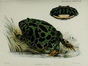 vintage scientific illustration of a frog.  Public Domain Image