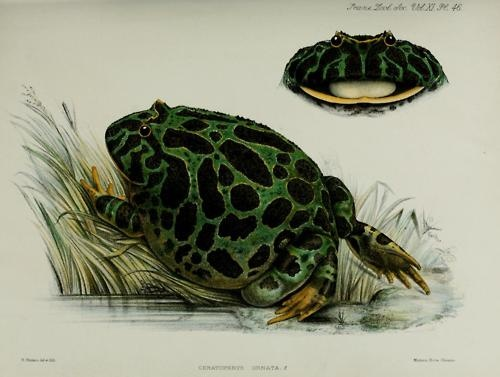 public domain frog illustration 19