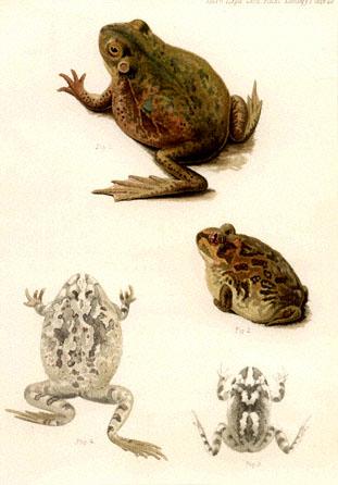 public domain frog illustration 20