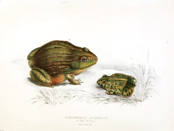 public domain frog illustration 5