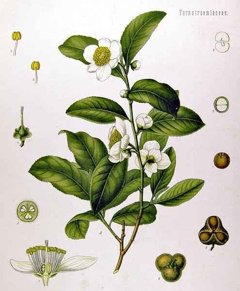 public domain vintage scientific illustration camellia