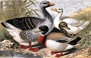 Public domain vintage illustration of duck species from an antique poultry book