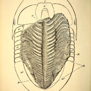 vintage scientific illustration of trilobite sketch1