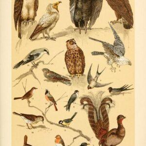 free vintage illustrations of wild animals birds image 3