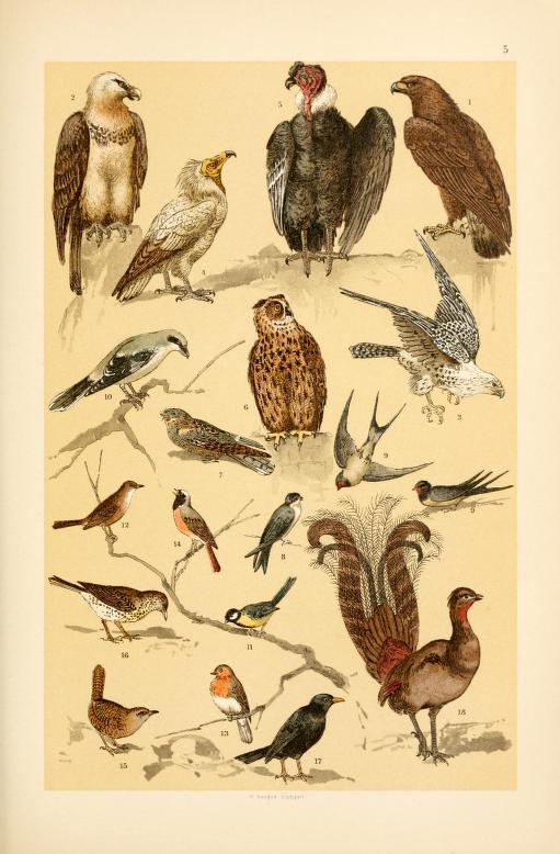 free vintage illustrations of wild animals birds image 3