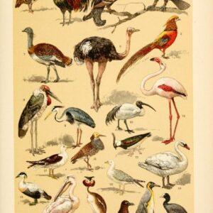 free vintage illustrations of wild animals birds image 5