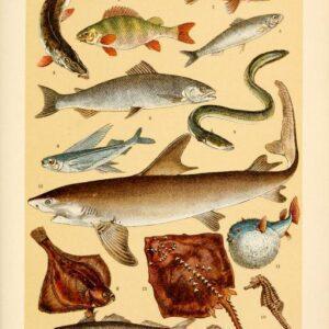 free vintage illustrations of wild animals fish marine