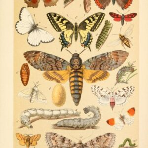 free vintage illustrations of wild butterflies and caterpillars