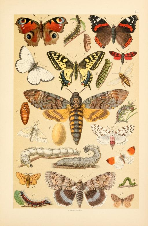 These are free vintage illustrations of wild butterflies and caterpillars from an out of copyright science book for kids published in 1895
