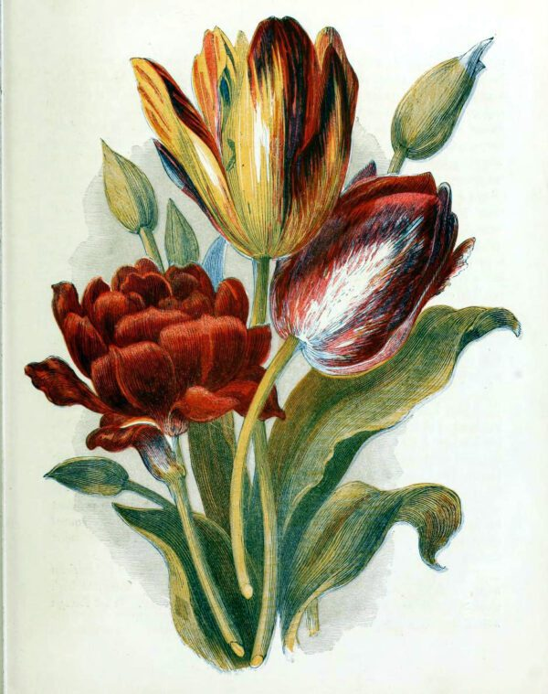 This is a free vintage illustration of Country Flowers and tulips from an 1857 Childrens book in the public domain