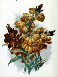 This is a free vintage illustration of red and golden country flowers from antique 1857 childrens book