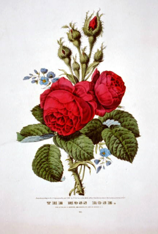 This is a free antique image of wild roses perfect for Mothers Day Crafts