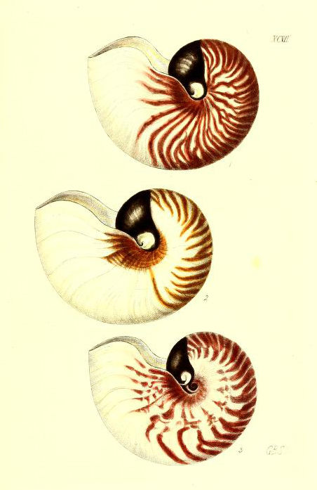 antique scientific illustration of 3 seashells