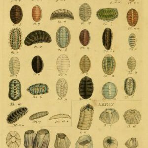 antique scientific illustration of chiton shells