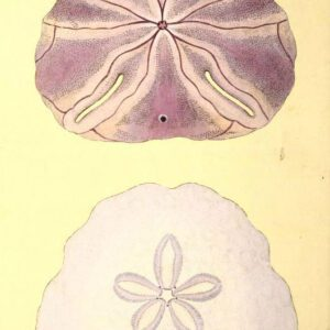 antique scientific illustration of purple sand dollars