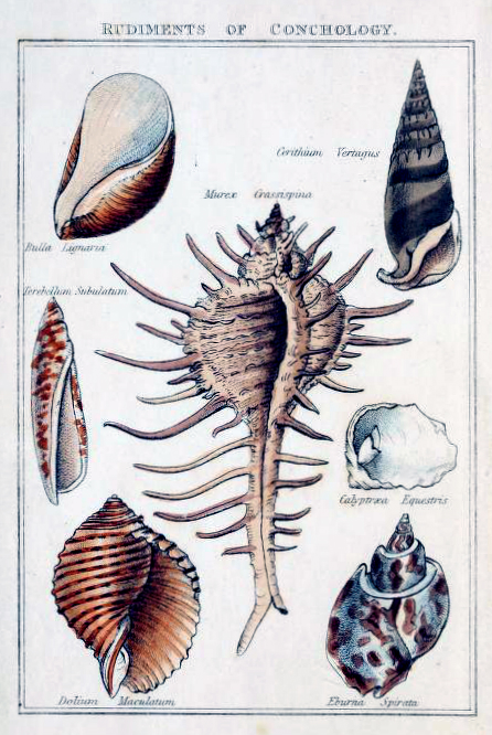 antique scientific illustration of shell variety