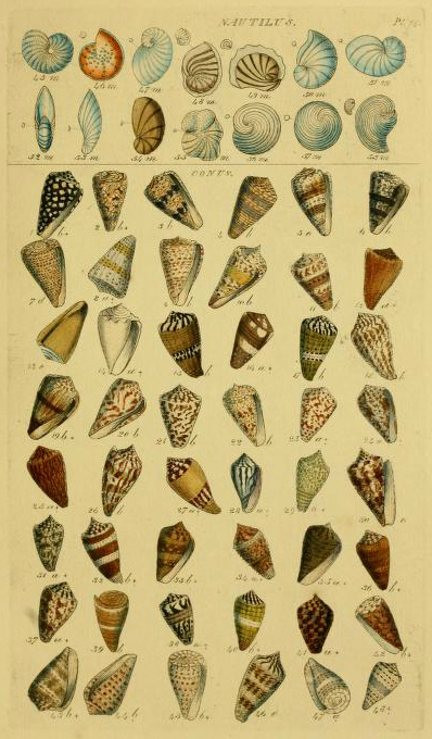 detailed antique scientific illustrations of nautilus shells
