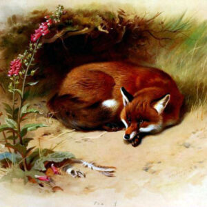 antique illustration of british fox