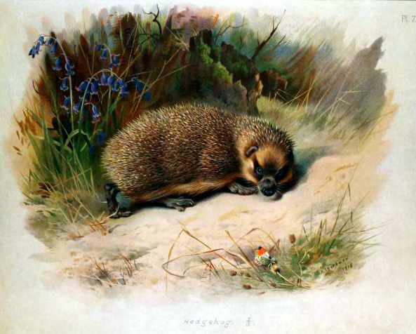 Free antique illustration of a British Hedgehog