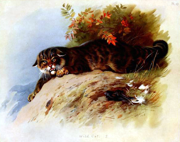 antique illustration of british wildcat