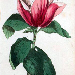 Vintage botanical illustration of a magnolia houseplant from 1807