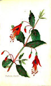 Enjoy this free vintage illustration of a red fuchia plan