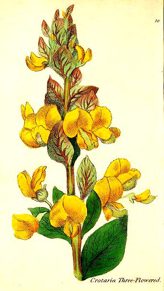 botanical illustration three flowered crotalaria