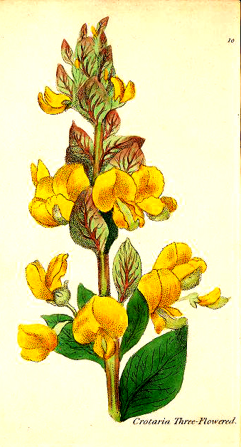 A free 19th century botanical drawing of a 3-flowered crotalaria