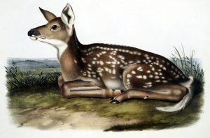 antique color illustration of baby deer