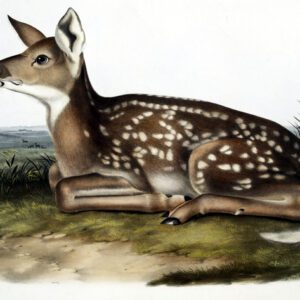 antique color illustration of baby deer