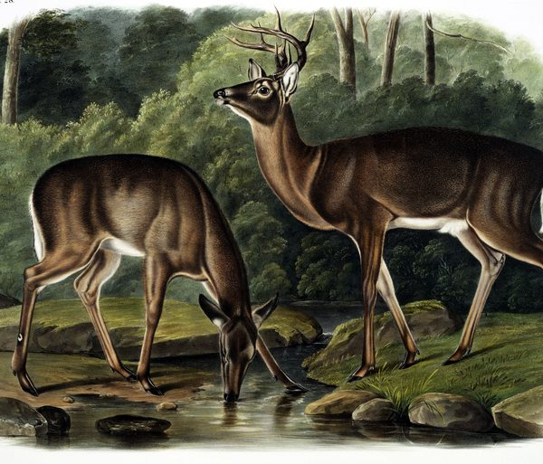 antique illustration of two deer by lake drinking water