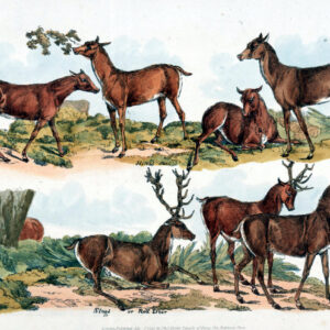antique illustration sketch of multiple deer