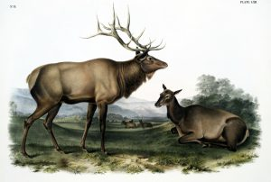 vintage illustration of deer doe and buck