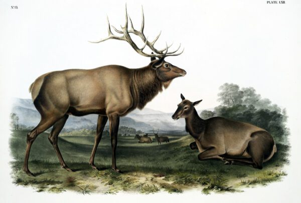 vintage illustration of a male buck deer and female doe deer