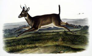 vintage illustration of jumping deer