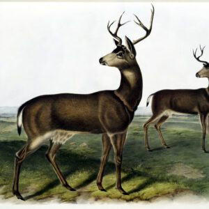 vintage illustration of two deer turning their heads