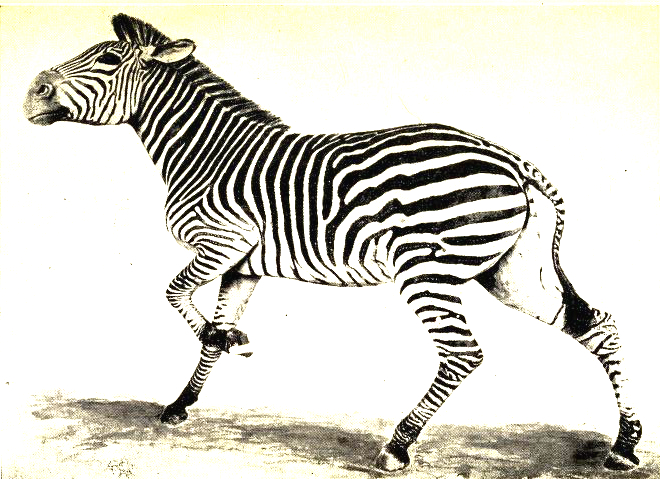 Vintage zebra illustration in the public domain