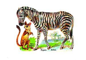 19th century zebra from vintage advertisement - public domain