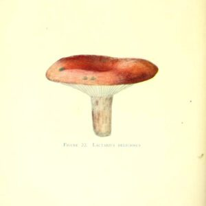 20th century mushroom illustrations public domain