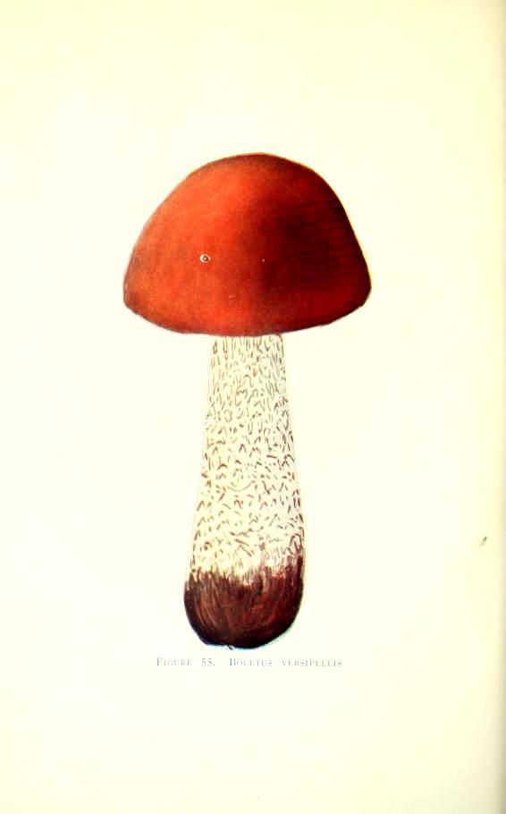early 20th century mushroom illustrations