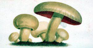 19th century scientific mushroom illustrations from Champignons et truffes