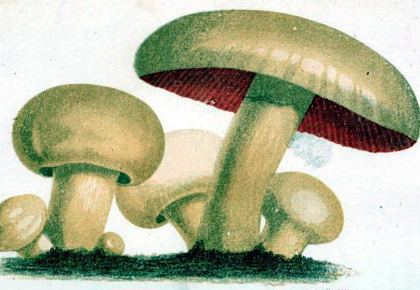 mushroom illustrations public domain 19th century