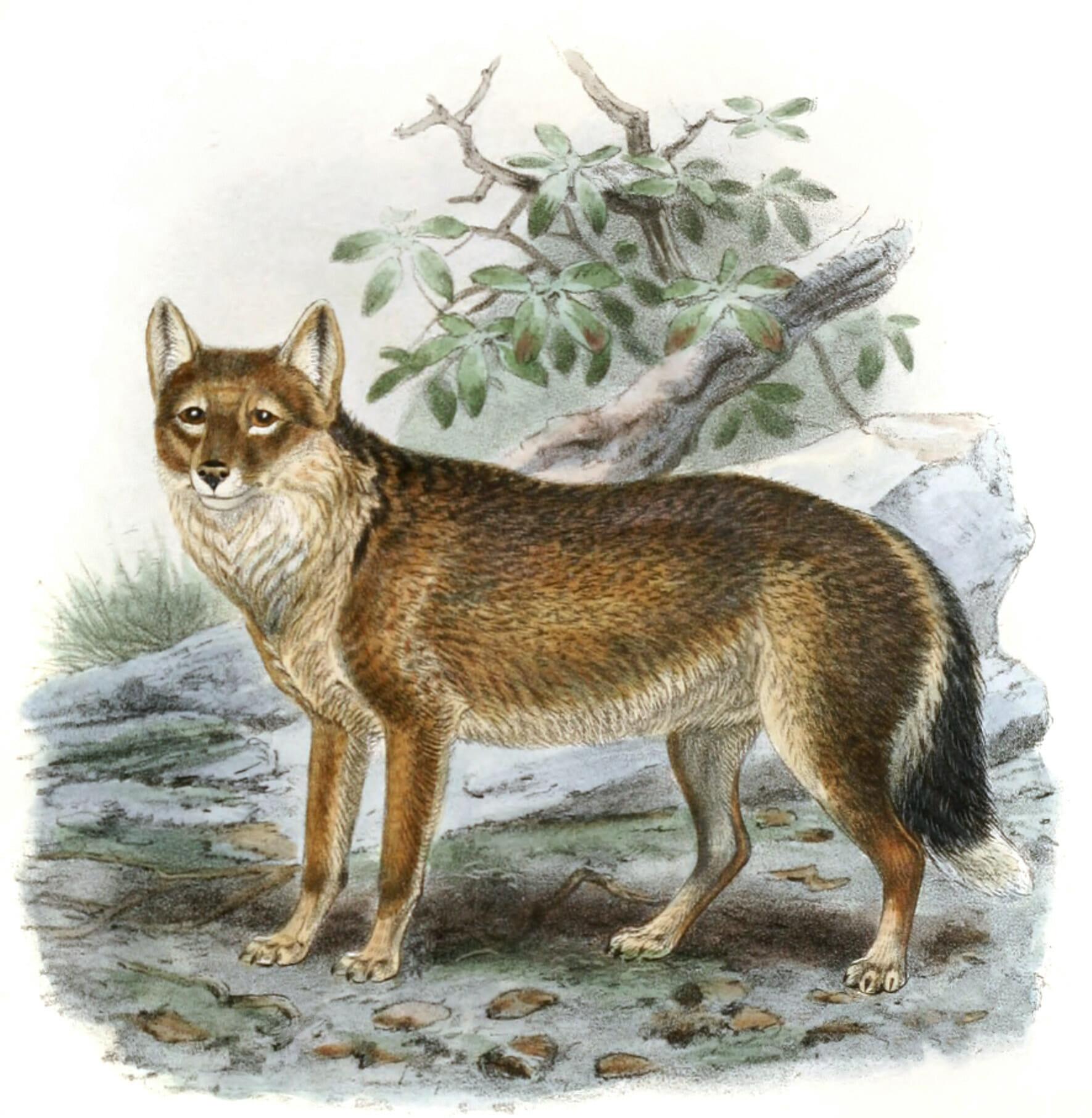 antarctic wolf 19th century