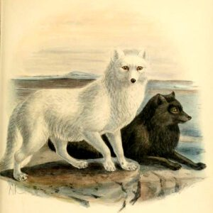 arctic wolves 19th century