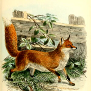 common fox 19th century