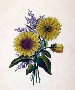 19th-century copyright-free illustrations of sunflowers