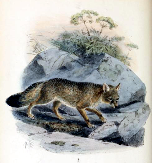 corsac fox 19th century