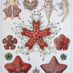 Free public domain Ernst Haeckel Asteridea starfish illustration from the late 19th-century book 'Art Forms in Nature.'
